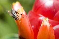 Macro da mosca do inseto na flor vermelha Imagens de Stock