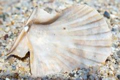 Macro da parte traseira de um shell claro e acastanhado na praia sobre Fotos de Stock