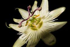 Macro da passiflora fotos de stock