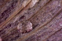 Macro da pele de cebola Foto de Stock Royalty Free