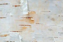 Macro da textura da casca de árvore do vidoeiro branco Fotos de Stock Royalty Free
