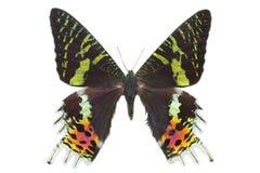 Macro da traça do por do sol de Madagascan da borboleta isolado foto de stock