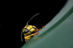Macro da vespa Foto de Stock Royalty Free