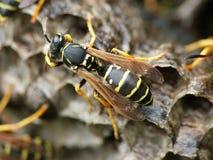 Macro da vespa Imagens de Stock Royalty Free