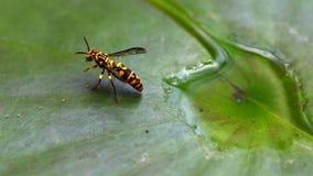 Macro da vespa na folha dos l?tus imagens de stock