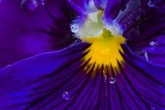 Macro da viola da flor Imagem de Stock