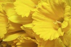 Macro daffodils Royalty Free Stock Image