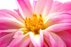 Macro of Dahlia flower centre Stock Photo