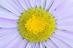 Macro daisy Royalty Free Stock Photos