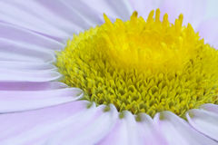 Macro daisy Stock Photography