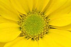Macro daisy. Macro shot of a yellow daisy Royalty Free Stock Photo