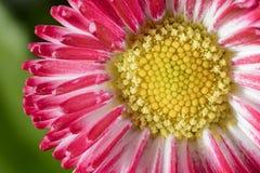 Macro daisy Royalty Free Stock Image