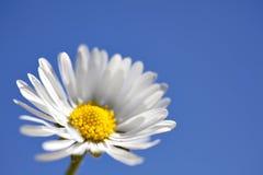 Macro Daisy op Blauw royalty-vrije stock foto's