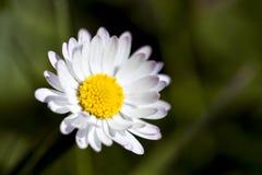 Macro Daisy op Blauw Stock Foto's