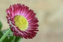 Macro daisy Royalty Free Stock Photo