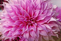 Macro dalia rosa luminosa. Fotografie Stock