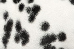 Macro of Dalmatian puppy fur Stock Photos