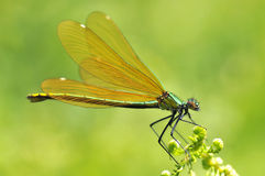 Macro damselfly on fern Stock Photo