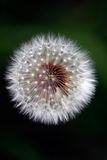 Macro of a dandelion Royalty Free Stock Images