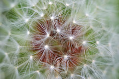 Macro of dandelion Stock Photo
