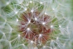 Macro of dandelion stock photo
