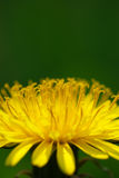 Macro of dandelion Royalty Free Stock Images
