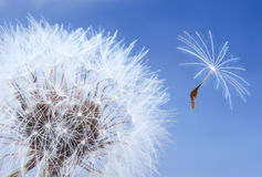 Macro of a dandelion Stock Image