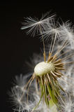 Macro Dandelion Blossom Stock Photos