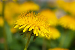 Macro of dandelion Stock Images