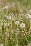 Macro Dandelion clocks growing in a field royalty free stock photos