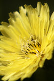 Macro Dandelion. Close macro photo of a yellow dandelion flower in bloom stock image