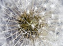 Macro Dandelion Stock Photography