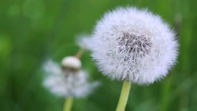Macro of a dandelion. Close-up white dandelion flowers isolated on green stock footage