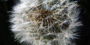 Macro dandelion Stock Image