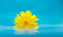 Macro dandelion floating on water with copy space. Royalty Free Stock Images