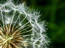 Macro of dandelion. Royalty Free Stock Images