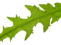 Macro dandelion leaf Royalty Free Stock Image