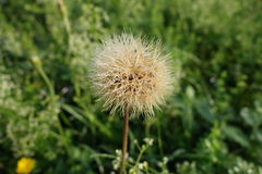 Macro of dandelion Stock Image