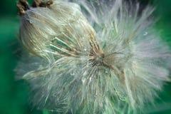 Macro dandelion Royalty Free Stock Photo