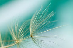 Macro of dandelion seed. On abstract green background Royalty Free Stock Image