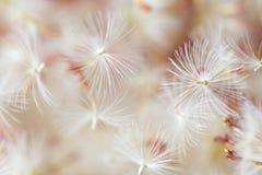 Macro dandelion seeds Stock Photography