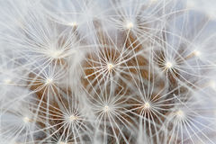 Macro of dandelion seeds Stock Image