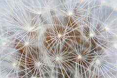 Macro of dandelion seeds stock image