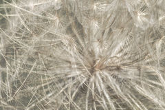 Macro Dandelion Seeds. Fresh Green Biologic Prodution Tuscan Grain Maremma Italy Royalty Free Stock Photo