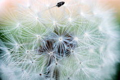 Macro dandelion Royalty Free Stock Photo