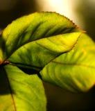 Macro das folhas Imagem de Stock