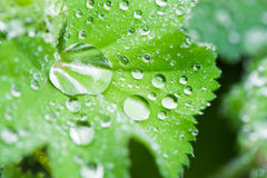 Macro das folhas com gotas Imagem de Stock Royalty Free