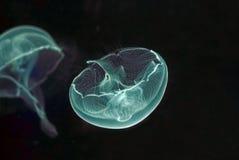 Macro das medusa Imagem de Stock Royalty Free