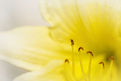 Macro Daylily Flower Royalty Free Stock Photography