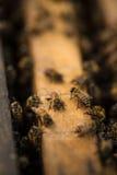 Macro de abejas en la madera Fotografía de archivo